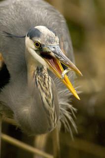 Photo of the Week - Great Blue Heron (VA)