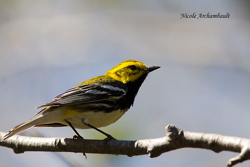 Paruline à gorge noire - Black-throated Green Warbler