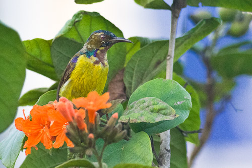 eclipse male Brown-throated Sunbird
