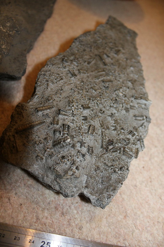 Pentacrinites crinoid slabs from Seatown 7199186738_07bf3a413b_c