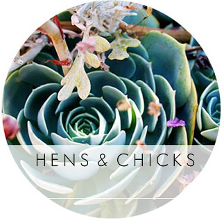 hens_and_chicks