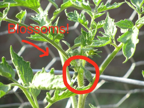 My tomatoes are blossoming!