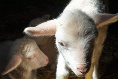 Baby Animals at Hancock Shaker Village - Pittsfield, MA - 2012, Apr - 03.jpg by sebastien.barre