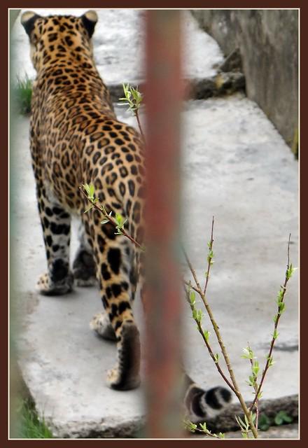Poor Leopard sentenced to life imprisonment