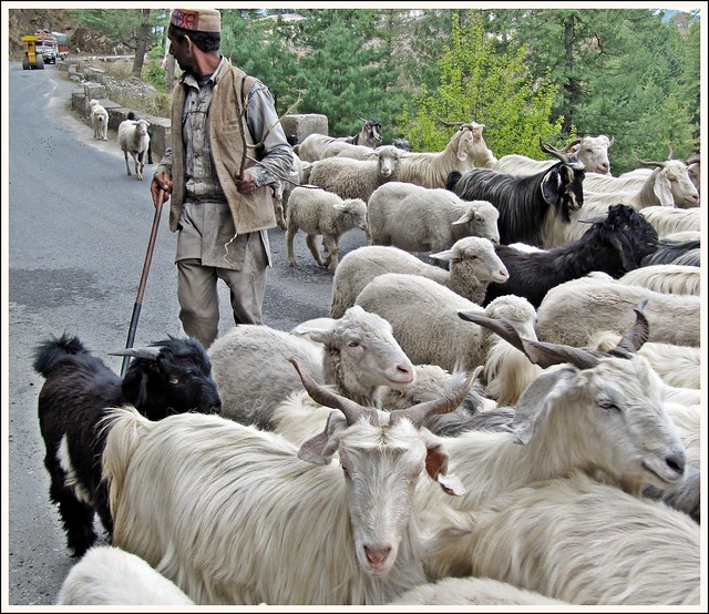 Gaddi shepherd and his flock of sheep