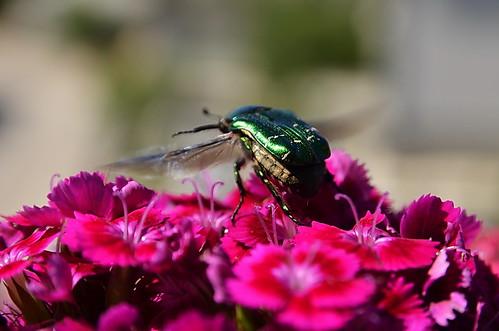 bug soe rosechafer cetoniaaurata greatphotographers magicmomentsinyourlifelevel1 bubazlatica vigilantphotographersunite vpu2 vpu3 vpu4 vpu5 vpu6 vpu7 vpu8 vpu9 vpu10