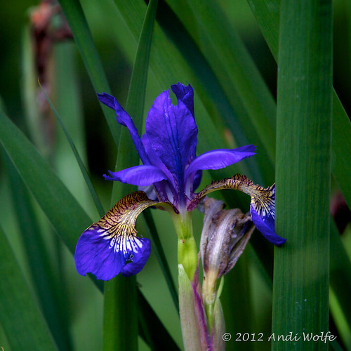 Iris by andiwolfe