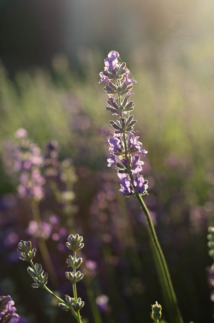 As Rosemary is to the spirit, so Lavender is to the soul - Monet