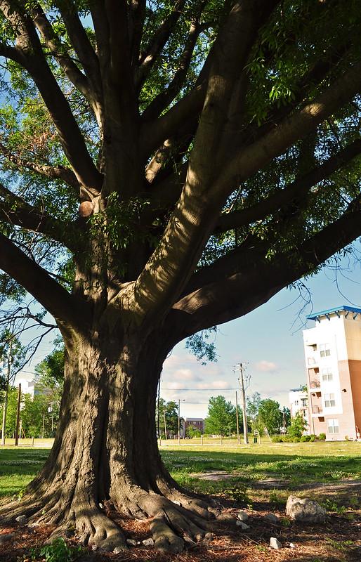 Quercus phellos (2)