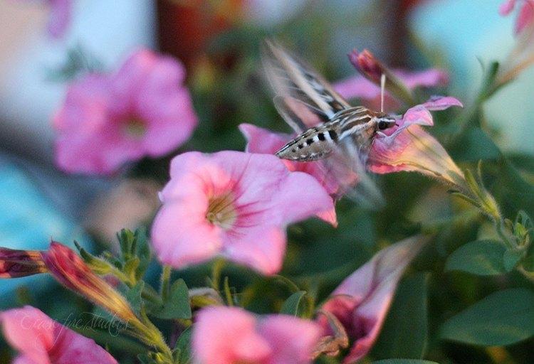 05-29-hummingmoth