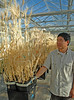Drought-tolerant Wheat