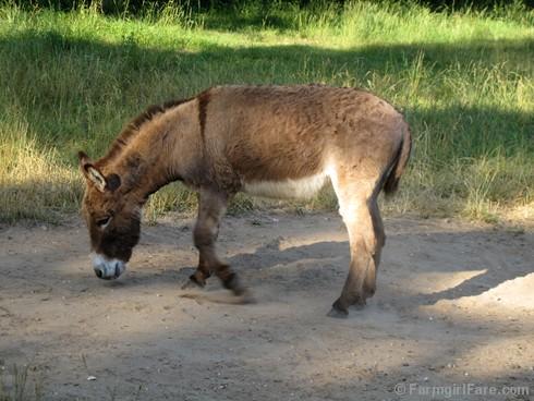 Donkey Doodle Dandy takes a dust bath (1) - FarmgirlFare.com