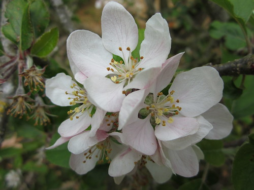 Apple Blossoms #5