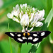 Small photo of White-Spotted Sable (Anania funebris)