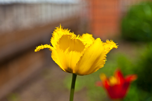 Fringed yellow tulip in Siberia