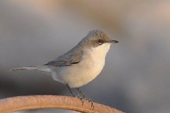 Humes Whitethroat (1st winter)