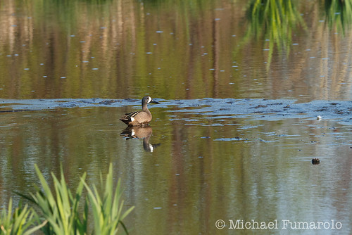 Blue-winged Teal - 02