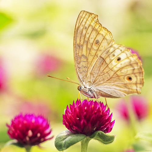 flower macro nature floral beautiful butterfly garden wings flora dof natural blossom bokeh details ngc insects bloom lovely blooming colorphotoaward 100commentgroup bestcapturesaoi coth5 elitegalleryaoi