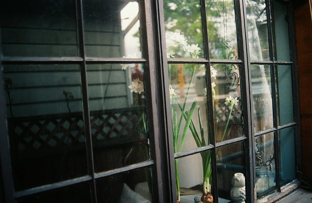 paperwhites, from outside.