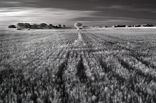 Árbol en el campo de trigo