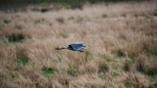 bird heron nature canon flying wildlife flight pacificnorthwest canonef100400mmf4556lisusm nisquallynationalwildliferefuge canoneos5dmarkiii
