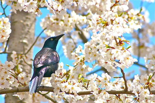 Cherry Blossoms and Grackles