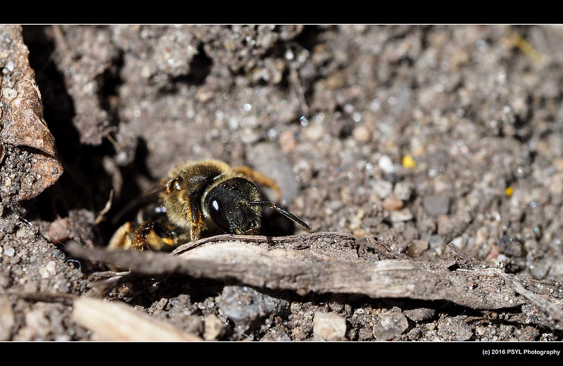 Halictus sp. (family Halictidae)