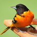 Gorgeous male Oriole. by nature55