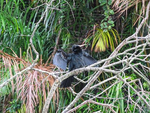 Tortuguero: non, ce n'est pas un cormoran. Non, il ne va pas non plus s'envoler; il ouvre ses ailes pour les sécher.