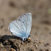 Small Blue - Photo (c) Charlie Jackson, some rights reserved (CC BY)