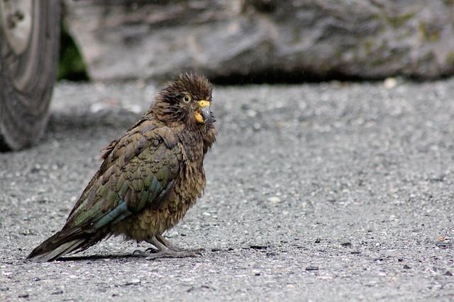 Scruffy kea