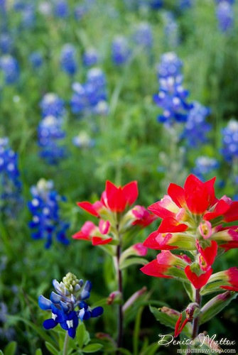 Indian Paintbrushes & Bluebonnets