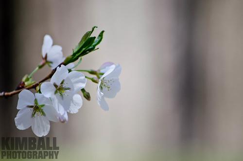 Pear Flower 5