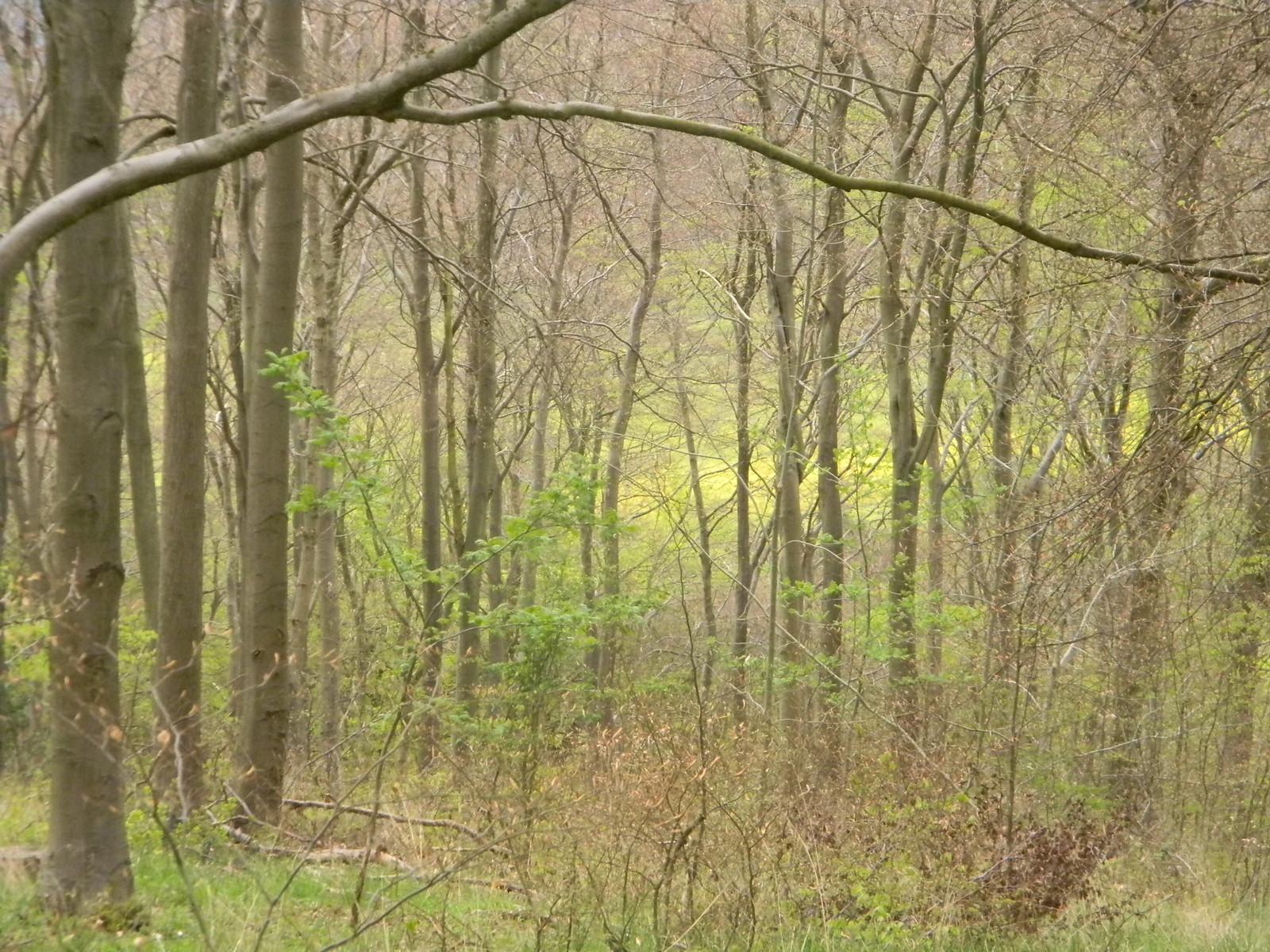 Rapefield through trees Wendover Circular via Lee