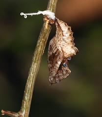 Silver washed fritillary (Argynnis paphia) pupa