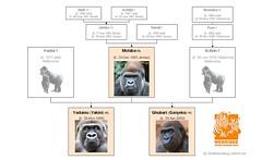 Gorilla Family - Werribee
