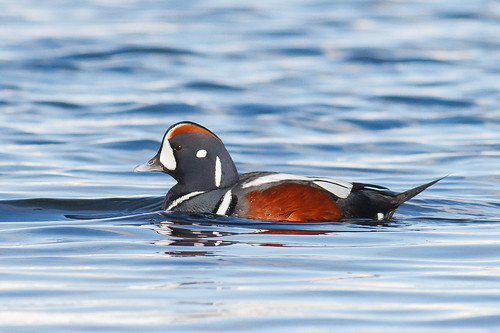 Harlequin Duck by ReynirSk