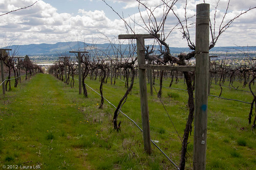 grape vines-8