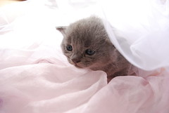 exotic shorthair(0.0), domestic short-haired cat(0.0), nose(1.0), animal(1.0), kitten(1.0), british shorthair(1.0), small to medium-sized cats(1.0), pet(1.0), mammal(1.0), cat(1.0), whiskers(1.0),