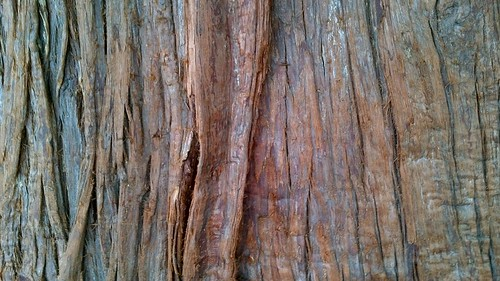 Western red cedar bark phylo the trading card game