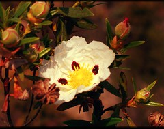 Com as suas delicadas, coloridas e breves flores, a esteva (Cistus ladanifer), planta selvagem da zona mediterrânica que é capaz de despontar em solos áridos e suportar longos períodos de seca, bem pode ser apontada como um símbolo de resistência contra a
