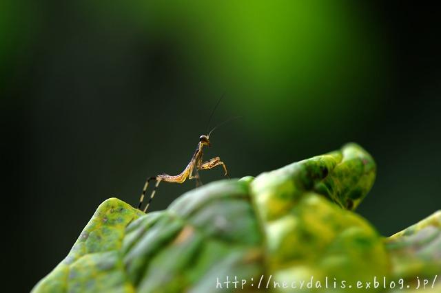 baby mantis...