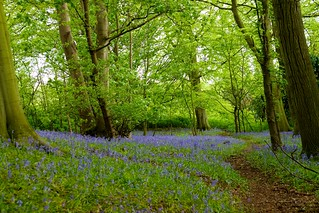 Bluebell Wood Easton 8