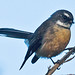 New Zealand Fantail - Photo (c) Tony Morris, some rights reserved (CC BY-NC)