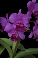 Cattleya portia 'Gloriosa' - 4