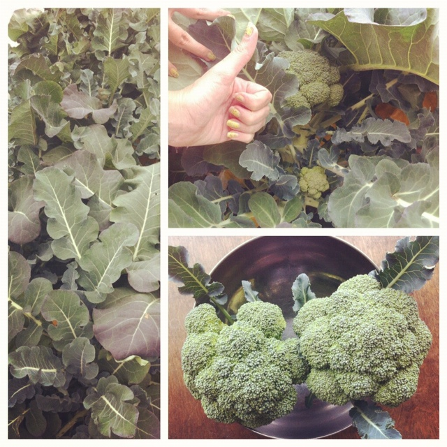 Harvested the first broccoli of the year, biggest broccoli we've ever grown! Yay!!