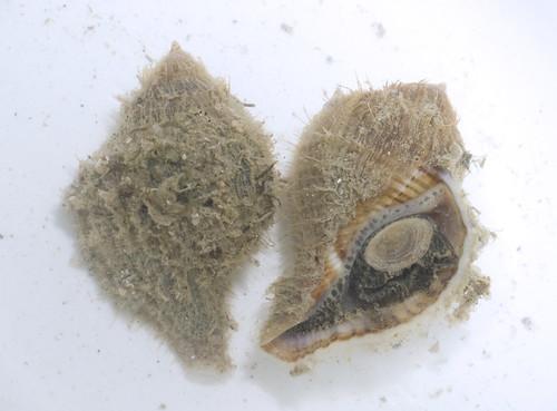 Leopard triton snail (Cymatium sp.)