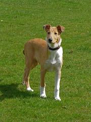 dog breed, animal, dog, pet, ibizan hound, carnivoran, terrier,