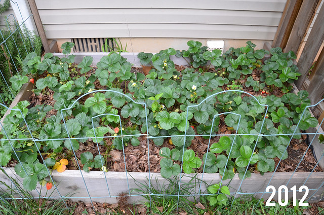 strawberry patch 2012