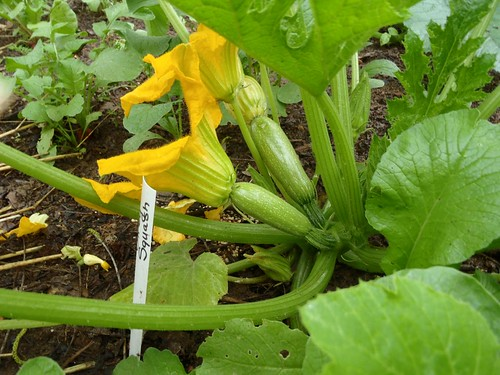 How To Grow Squash From Seed: A Tutorial With Tips & Tricks | www.TheAdventureBite.com